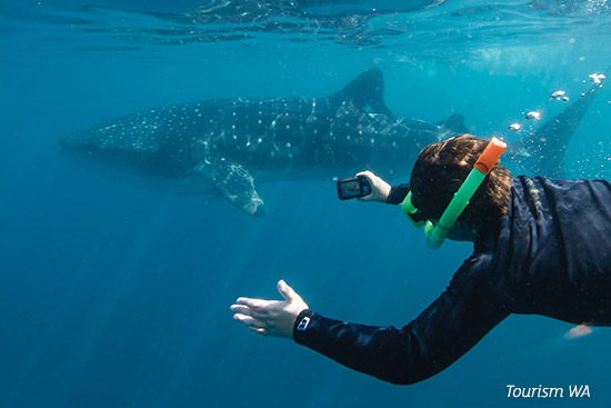 Swimming with the whale sharks at Ningaloo Reef, off Exmouth WA
